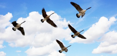 Four things geese teach us about teamwork